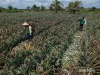 Hamparan kebun nanas yang luas, di Desa Penyengat, Siak, Riau