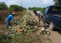 Petani sedang memuat buah nanas ke mobil pengangkut untuk pasar domestik