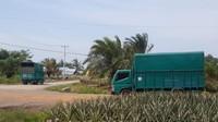 Sejumlah truk menuju Kebun Nanas di Desa Penyengat, untuk mengangkut buah tersebut ke Pasar Induk, Kramat Jati, Jakarta Timur