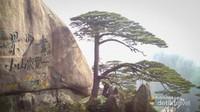 Greeting Guest Pine, pohon pinus penyambut tamu yang legendaris di Huangshan