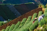 Petani bawang sedang memanen hasil ladangnya