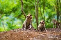 Beberapa monyet sedang menanti makanan