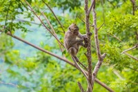 Monyet sedang bergelantungan di pohon