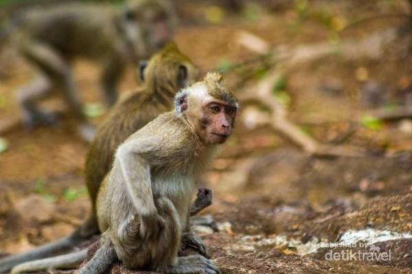 Beberapa monyet yang ada di wisata kebun buah mangunan