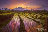 Keindahan Terasering Persawahan dengan Gunung Barisan di Kemumu, Arga Makmur, Bengkulu Utara