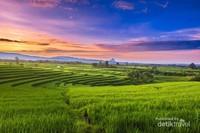 Sunrise Pagi Hari di Persawahan di Kemumu, Arga Makmur, Bengkulu Utara