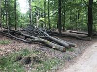 Pohon-pohon tua yang baru di tebang dikumpulkan untuk memudahkan proses pengangkutan