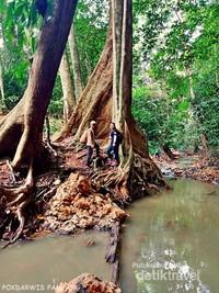 Di hutan Pampang, kita masih bisa menemukan pohon yang sangat besar.
