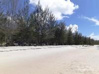 Deretan pohon pinus di bibir pantai BBR