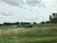 Saat musim dingin sapi-sapi ini masuk kandang