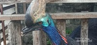 Kepala burung kasuari.
