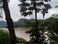 Pohon pepaya pun tumbuh subur di tepi sungai Mekong.