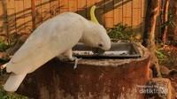 Kakatua Jambul Kuning merupakan pemakan biji-bijian dan merupakan spesies dilindungi