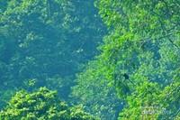 Lutung jawa (Trachypitecus auratus) yang banyak menghuni kawasan hutan di jajaran pegunungan Sanggabuana yang dijumpai tim ekspedisi.