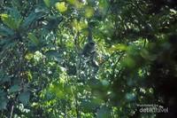 Owa Jawa (Hylobates moloch) salah satu primata endemik jawa yang masih berkeliaran di kawasan hutan jajaran pegunungan Sanggabuana.