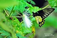 Kupu-kupu raja (Troides amphrysus) salah satu serangga khas yang menjadi cirikhas Sanggabuana.