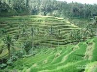 Hijaunya persawahan berundak di Ubud.