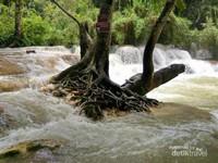 Derasnya aliran air Kuang Si tidak mengalahnya pohon yang mengakar kuat di tengah air terjun.