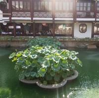 Suburnya daun bunga teratai di kolam Taman Yu Yuan.