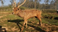 Jenis rusa yang ditangkarkan disini adalah Rusa Jawa yang juga dikenal dengan Rusa Timor