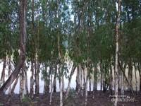 Pepohonan di tepian kanal hutan Tra Su