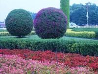 Pohon bougenvilla yang dipangkas rapi dan indah.