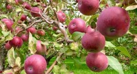 Apel variietas Spartan