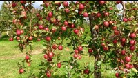 Apel varietas Pink Lady