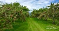 Perkebunan ini memiliki 4700 pohon apel