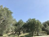 Pohon-pohon zaitun yang berjejer rapi