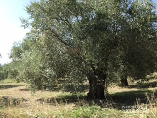 Pohon zaitun bisa berukuran besar