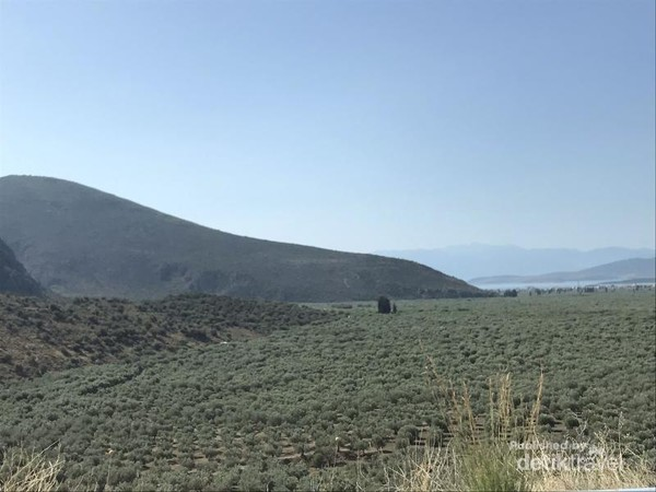 Perkebunan zaitun yang begitu luas sepanjang jalan dari Galaxidi menuju Delphi