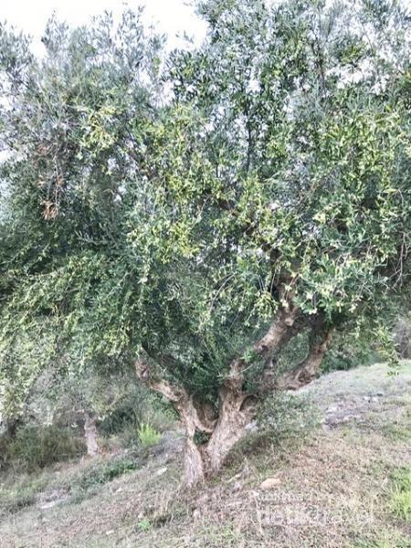 Salah satu pohon yang berbuah banyak