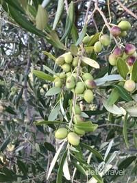 Ini adalah buah zaitun yang masih muda berwarna hijau namun sudah bisa dimakan