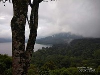 Pohon yang kokoh di tepi danau Buyan