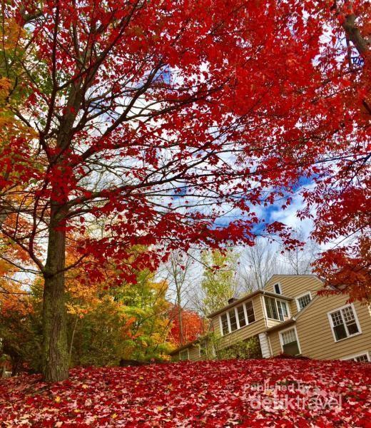 Permadani merah ini bukan red carpet, melainkan daun maple yang berwarna merah menyala.