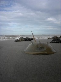 di pantai panrita lopi, banyak ditemukan belangkas.