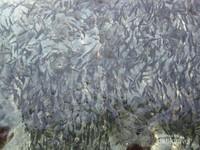 Saat siang, berbagai jenis terumbu karang dan ikan-ikan tampak terlihat jelas.