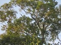 Burung-burung cendrawasih terlihat bertengger di hutan sapokren. Di sini kamu bisa lihat cenderawasih merah atau pohon dan cenderawasih belah rotan.