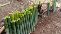 Menyusun bambu sebelum dibakar