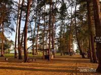Pohon pinus berjejer rapi di sepanjang pantai