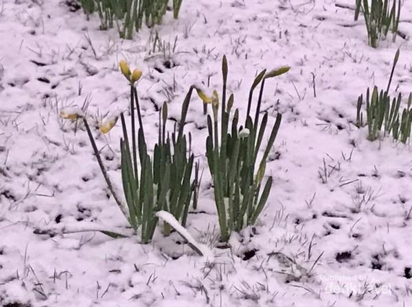 Biasanya bunga narcis ini mekar saat musim semi datang.