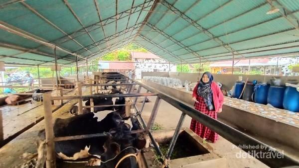 Pengunjung melihat sapi perah