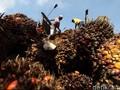 Laba Sampoerna Agro Turun Akibat Anjloknya Harga CPO