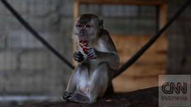 Kawanan Monyet Liar Serang Warga Jatiasih