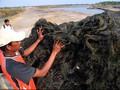 Jokowi Larang Ekspor Rumput Laut Mentah Mulai 2018