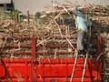 Asosiasi Petani Tebu Tolak Rencana Impor Gula Menteri BUMN