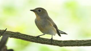 Spesies Baru Burung Flycatcher Ditemukan di Sulawesi