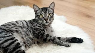 Kucing Peliharaan Dilaporkan Tertular Corona dari Pemiliknya
