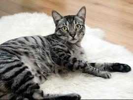 Kucing Peliharan Dilaporkan Tertular Corona dari Pemiliknya